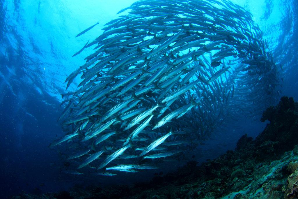 fish shoal 1