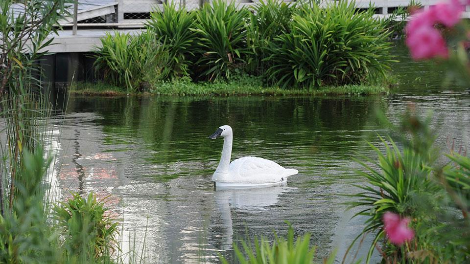 nus swan