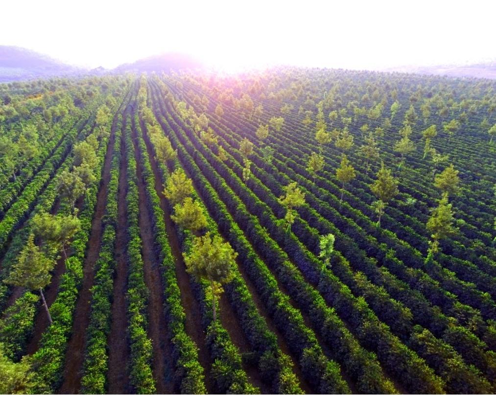 olam coffee plantation