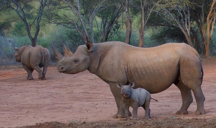 eastern black rhino